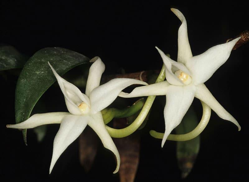 Angraecum dendrobiopsis Photographer - Lourens Grobler
