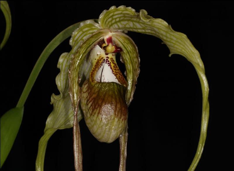 Phragmipedium caudatum Photographer - John Varigos